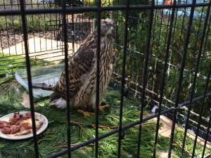 """Gillian Lewis: Spectrum Coaching and Consultancy blog post """"A Walk with a Hawk and other stories"""" photo of goshawk"""